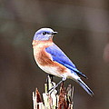 Eastern Bluebird - The Old Fence Post by Travis Truelove