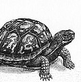 Eastern Box Turtle by Cara Bevan