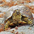 Eastern Box Turtle by Cynthia Guinn