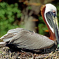 Eastern Brown Pelican by Millard H. Sharp