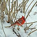 Eastern Cardinal - Cardinalis Cardinalis by Mother Nature