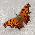 Eastern Comma Butterfly by Lori Tordsen