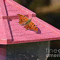 Eastern Comma Butterfly On Bird Feeder  by Ruth  Housley