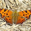 Eastern Comma by Eric Noa