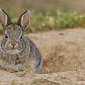 Eastern Cottontail Wyoming by Pete Oxford