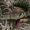 Eastern Diamondback Rattlesnake 1 by Arterra Picture Library