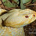 Eastern Diamondback Rattlesnake Albino by Millard Sharp