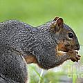 Eastern Fox Squirrel by Brandon Alms