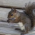 Eastern Gray Squirrel-4 by Diane Macdonald