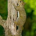 Eastern Gray Squirrel by Anthony Mercieca