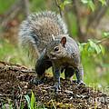 Eastern Gray Squirrel by Linda Freshwaters Arndt