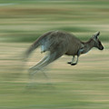 Eastern Grey Kangaroo Female Hopping by Ingo Arndt