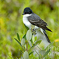 Eastern Kingbird by Anthony Mercieca