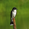 Eastern Kingbird by Ernie Echols