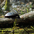 Eastern Painted Turtle by Rebecca Sherman