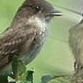 Eastern Phoebe Family by Natalie Rotman Cote