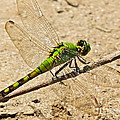 Eastern Pondhawk Dragonfly by Eve Spring