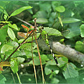 Eastern Pondhawk Female Dragonfly - Erythemis Simplicicollis - On Pine Needles by Mother Nature
