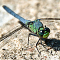Eastern Pondhawk Side by Cheryl Baxter