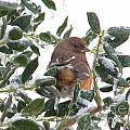 Eastern Rufous-sided Towhee by Nathanael Smith