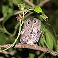Eastern Screech Owl 1 by Dennis Sotolongo