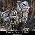 Eastern Screech Owl by Chris Flees