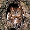 Eastern Screech Owl - Fs000810 by Daniel Dempster