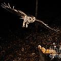 Eastern Screech Owl Hunting by Scott Linstead