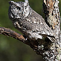 Eastern Screech-owl Otus Asio by Paul Cannon
