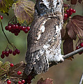 Eastern Screech Owl Red And Gray Phases by Paul Cannon