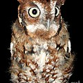 Eastern Screech Owl by Rose Santuci-Sofranko