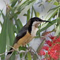 Eastern Spinebill by Hal Beral