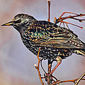 Common Starling by Marcia Colelli