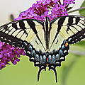 Eastern Swallowtail  by Marcia Colelli