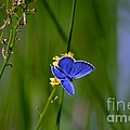 Eastern Tail Blue Butterfly by Peggy Franz
