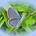 Eastern-tailed Blue Butterfly - Cupido Comyntas by Mother Nature