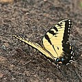 Eastern Tiger Swallowtail 8564 3241 by Michael Peychich