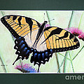 Eastern Tiger Swallowtail Butterfly By George Wood by Karen Adams
