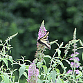 Eastern Tiger Swallowtail Butterfly -  Featured In Wildlife Group by Ericamaxine Price