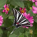 Eastern Tiger Swallowtail Butterfly by Jack Nevitt