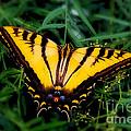 Eastern Tiger Swallowtail Butterfly by Jerry Cowart
