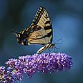 Eastern Tiger Swallowtail Butterfly by Sandy Keeton