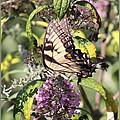 Eastern Tiger Swallowtail - Butterfly by Travis Truelove
