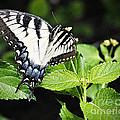 Eastern Tiger Swallowtail Butterfly by Walter Herrit
