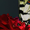 Eastern Tiger Swallowtail by Cody Arnold