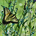 Eastern Tiger Swallowtail Ins 76 by G L Sarti