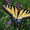 Eastern Tiger Swallowtail by Jayne Gulbrand
