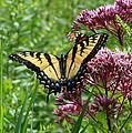 Eastern Tiger Swallowtail On Joe Pye Weed by Neal Eslinger