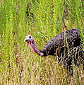 Eastern Wild Turkey - Longbeard by Travis Truelove