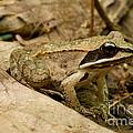 Eastern Wood Frog by Paul Whitten